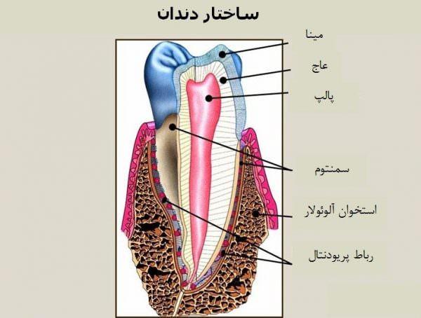 آشنایی با انواع و ساختار دندان ها