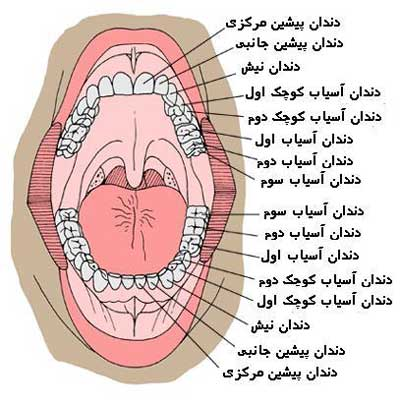 وظایف دندان ها در انسان